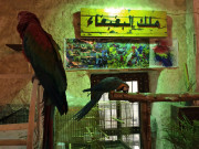 Parrots Exotic birds Souk Waqif Doha Qatar Global High Performance visit to the Middle East